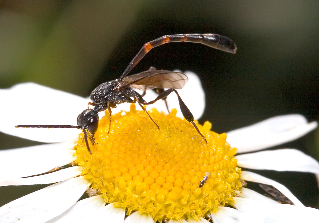 Gasteruption sp. - Männchen - Fam. Gasteruptidae - Schmalbauchwespen - diverse Hymenopteren - other hymenopteras