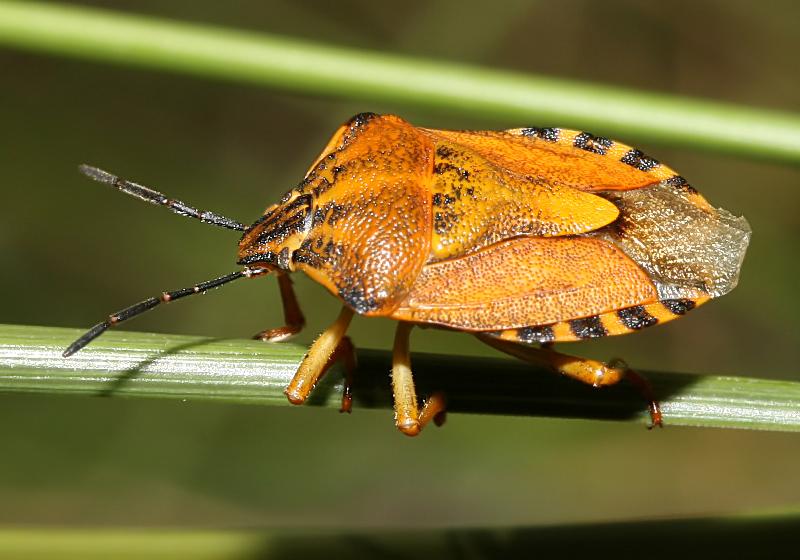 Carpocoris purpureipennis - Purpur-Baumwanze - Fam. Pentatomidae - Baumwanzen - Heteroptera - Wanzen - true bugs