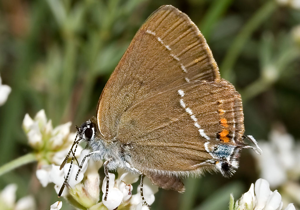 Satyrium spini - Kreuzdornzipfelfalter -  - Lycaenidae - Bläulinge - gossamer-winged butterflies