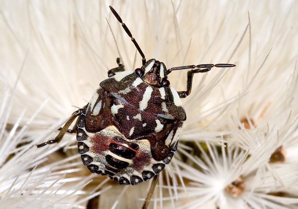 Carpocoris purpureipennis - Purpur-Baumwanze (Nymphe) - Fam. Pentatomidae - Baumwanzen - Heteroptera - Wanzen - true bugs