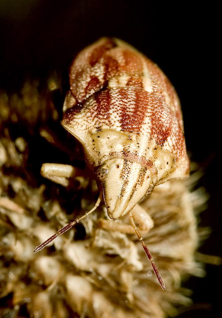 Odontotarsus purpurolineatus - Fam. Scutelleridae - Schildwanzen - Heteroptera - Wanzen - true bugs