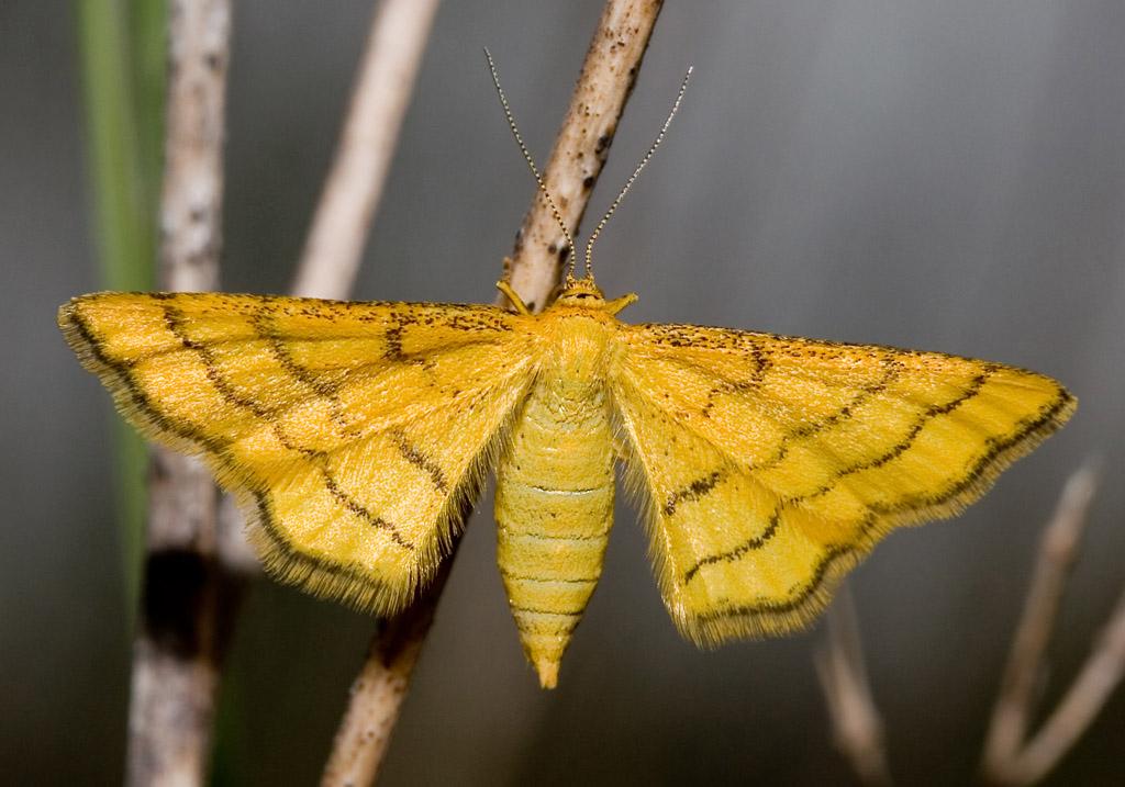 Idaea aureolaria - Goldgelber Magerrasen-Zwergspanner -  - Geometridae - Spanner - geometer moths