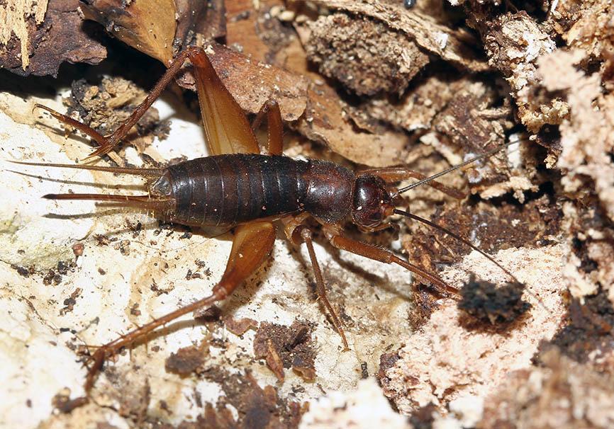 ?? Ovaloptila krueperi - Fam. Gryllidae -  Parnassus - Mittelgriechenland - Ensifera - weitere Familien - other families