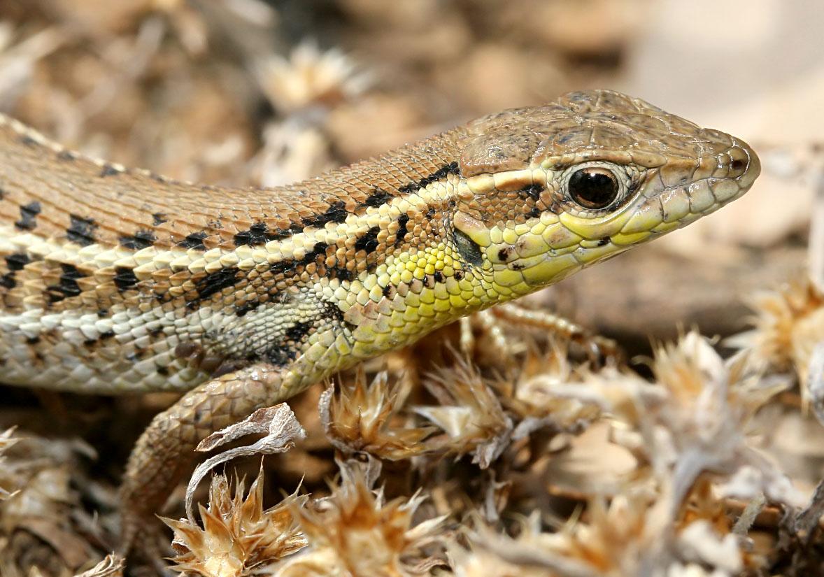 Ophisops elegans - Schlangenauge - Symi - Lacertidae - Eidechsen - Lizards
