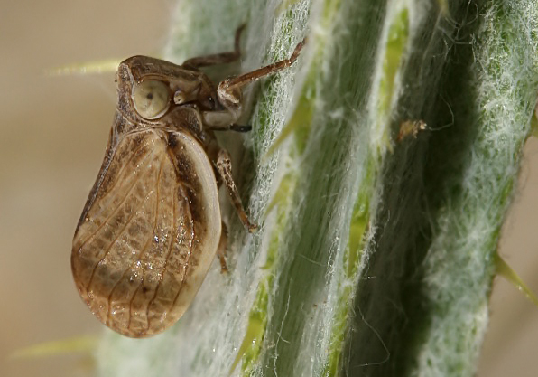 Agalmatium bilobum - Mittelmeer-Käferzikade - Fam. Issidae  (Käferzikaden)  -  Symi (Dodekanes) - Auchenorrhyncha - Zikaden - cicada