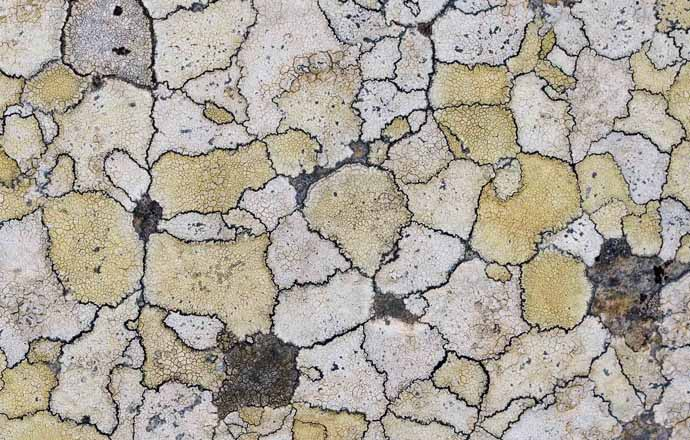 Krustenflechten -  - Flechten - Lichenes