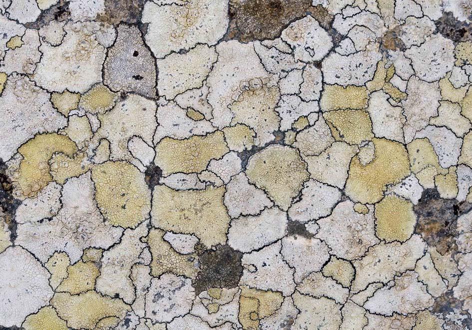 Krustenflechten -  - Mauern - walls