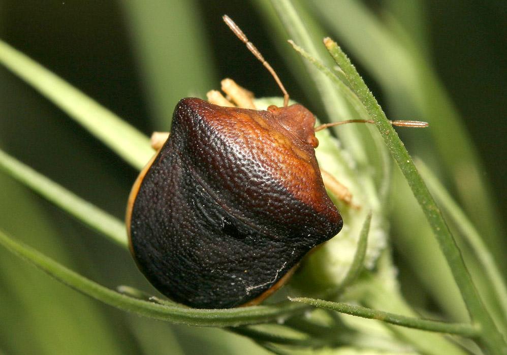 Ventocoris rusticus - Fam. Pentatomidae  -  Samos - Heteroptera - Wanzen - true bugs