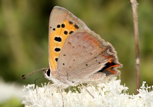 Lycaena-phlaeas - Kleiner-Feuerfalter - Ikaria - Lycaenidae  - Bläulinge  -  gossamer-winged butterflies