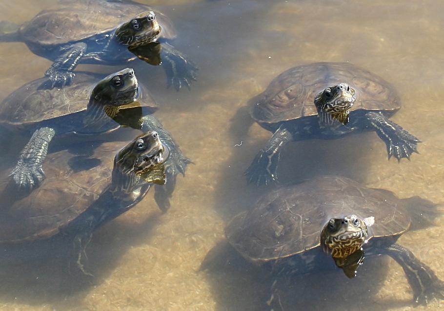 Mauremys rivulata - Ostmediterrane Bachschildkröte - Ikaria - Chelonii - Schildkröten - turtles, tortoises