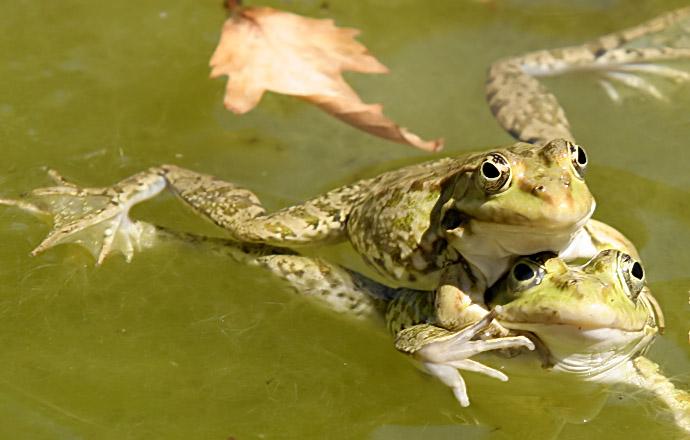 Pelophylax bedriagae - Kleinasiatischer Seefrosch - Ikaria - Ranidae - Frösche - frogs