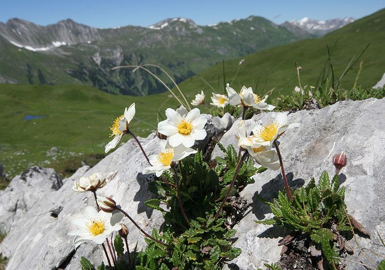 Dryas octopetala - Silberwurz - Rosaceae - Felsspalten - rock crevices