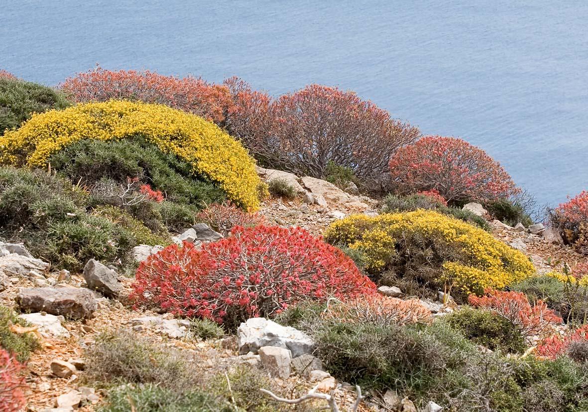 Folegandros - Baum-Euphorbien Ende April -  - Folegandros