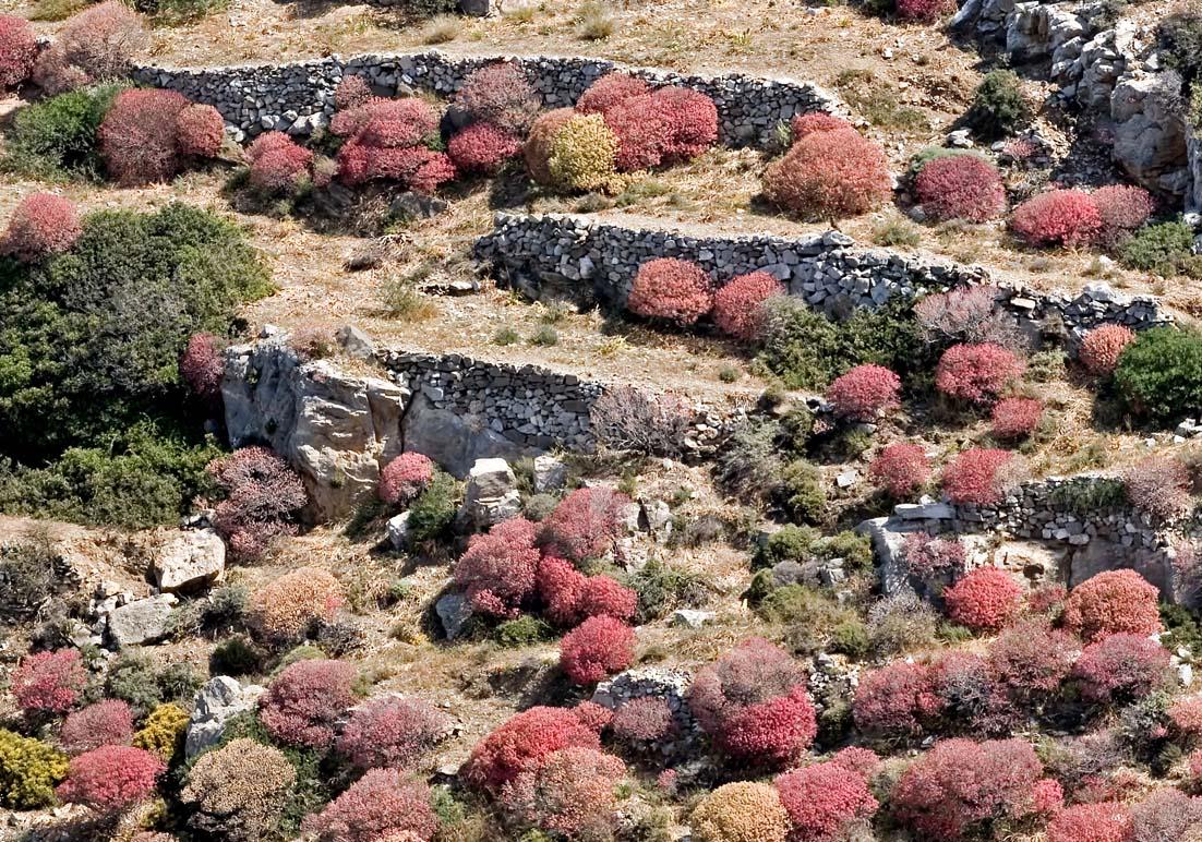 Folegandros - Baum-Euphorbien -  - Folegandros
