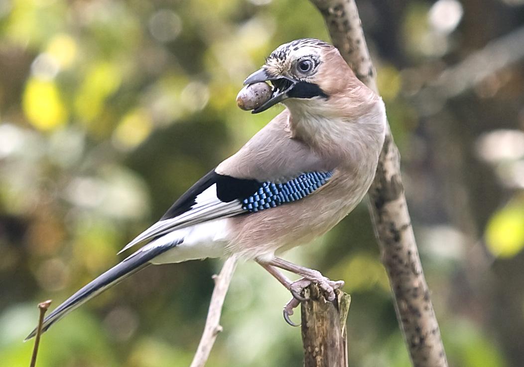Garrulus glandarius - Eichelhäher - Jay -  - Corvidae - Rabenvögel - corvids