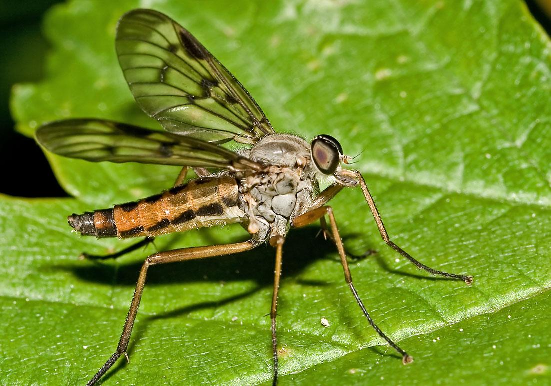 Rhagio cf.  scolopaceus - Schnepfenfliegen - Fam. Rhagionidae - Schnepfenfliegen - Brachycera (Fiegenartige) - Orthorrhapha