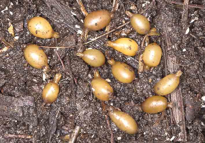 Kokons  Eisenia foetida - Kompostwurm -  - Clitellata - Gürtelwürmer - clitellates