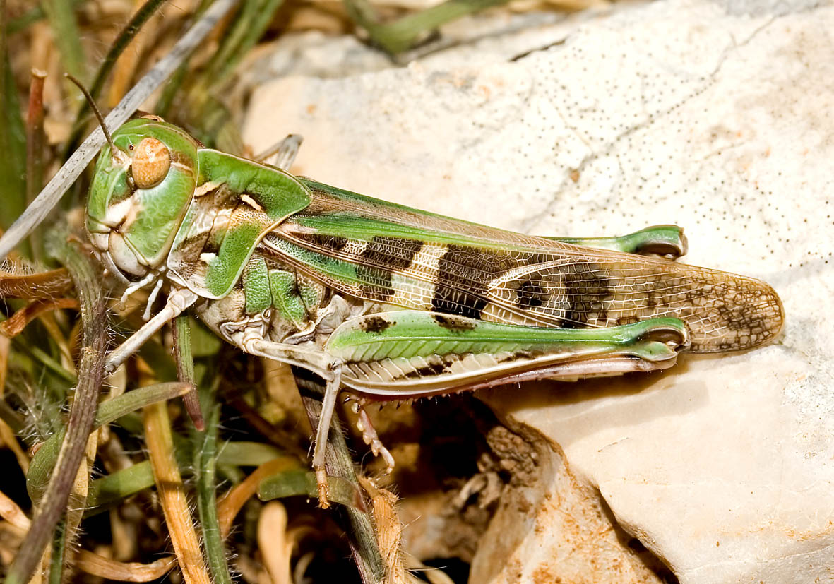 Oedaleus decorus - Kreuzschrecke - Fam.  Acrididae/Oedipodinae  -  Krk (Kroatien) - Caelifera - Kurzfühlerschrecken - grasshoppers