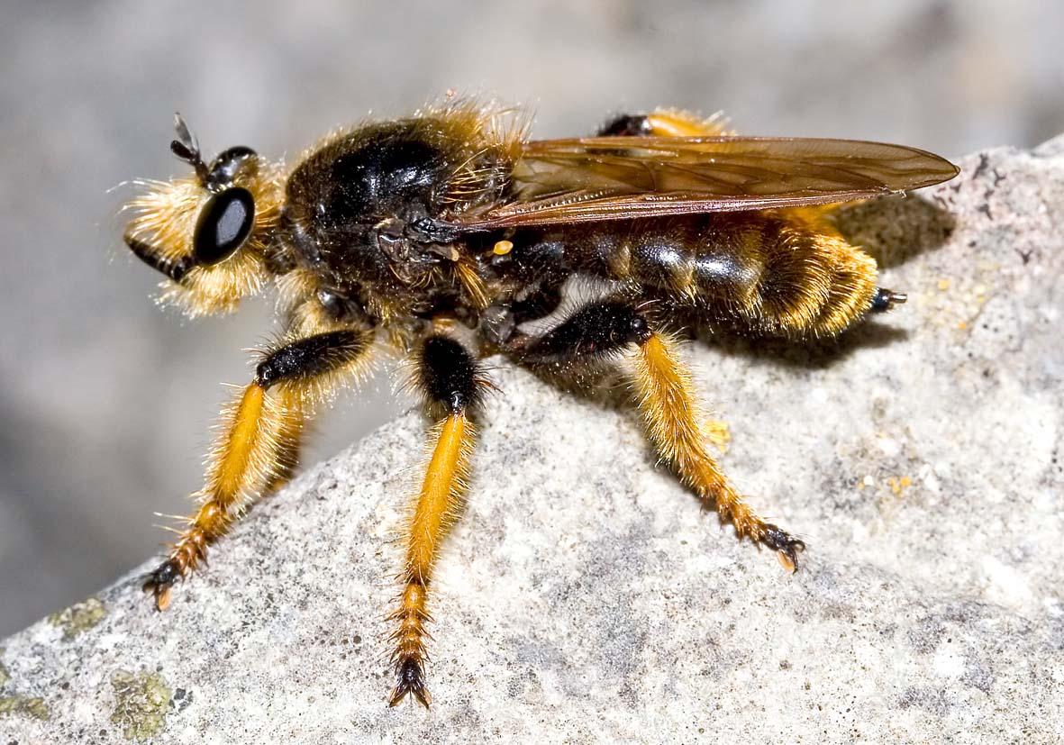 Pogonosoma maroccanum - Asilidae - Raubfliege - robber fly (Kroatien) - Diptera - Fliegen