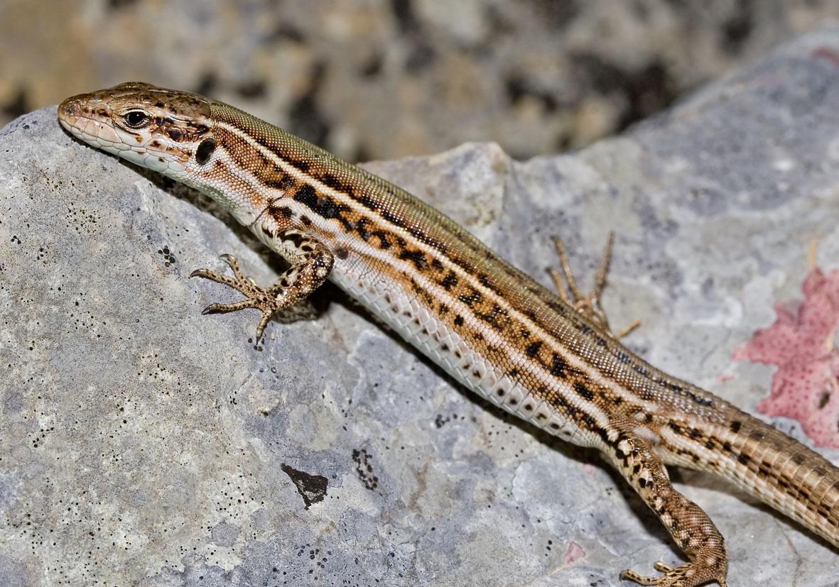 Podarcis melisellensis - Karstläufer - Kroatien - Lacertidae - Eidechsen - Lizards