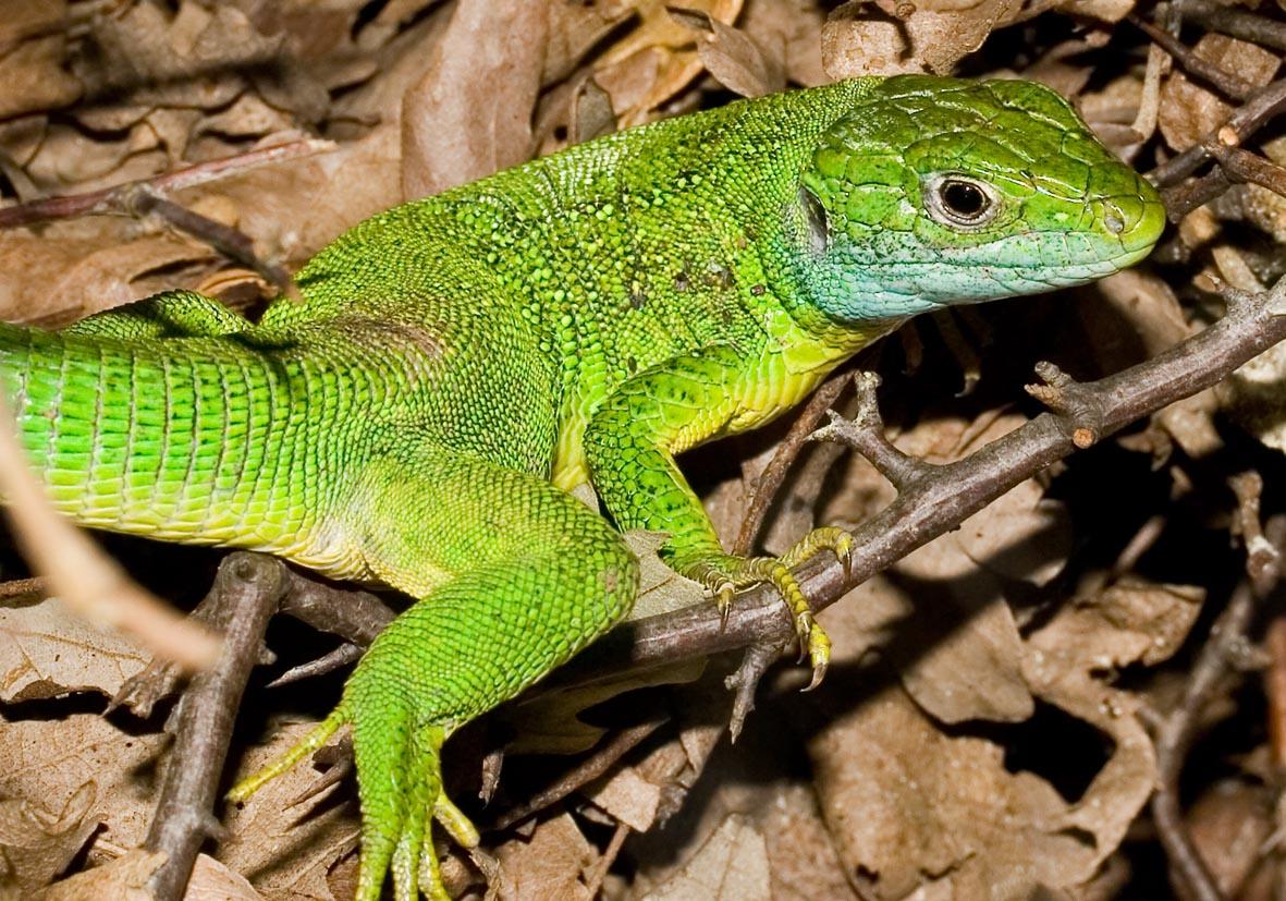 Lacerta viridis - Östliche Smaragdeidechse - Krk-Kroatien - Lacertidae - Eidechsen - Lizards