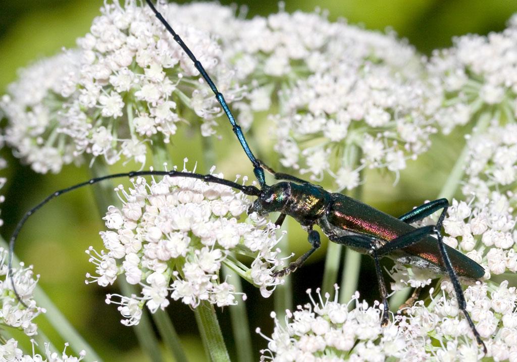 Aromia moschata - Moschusbock - UFam. Cerambycinae  -  Kroatien - Cerambycidae - Bockkäfer - long-horned beetles