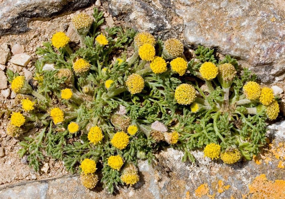 Anthemis rigida - Steife Hundskamille -  - Gras- und Felsfluren - grassy and  rocky terrains