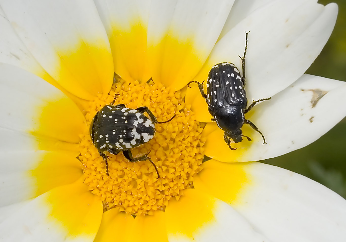Oxythyrea cinctella - Fam. Cetoniidae  -   Amorgos - Scarabaeidea - Blatthornkäfer - scarab beetles