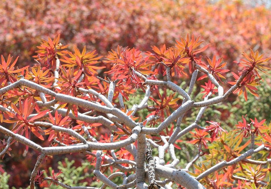 Euphorbia dendroides - Baumartige Wolfsmilch - tree spurge -  - Phrygana