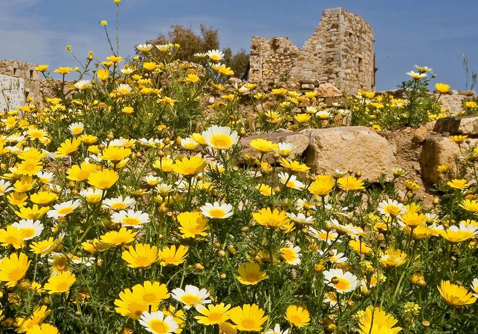Glebionis coronaria - Kronenwucherblume - crown daisy -  - Ruderal vegetation