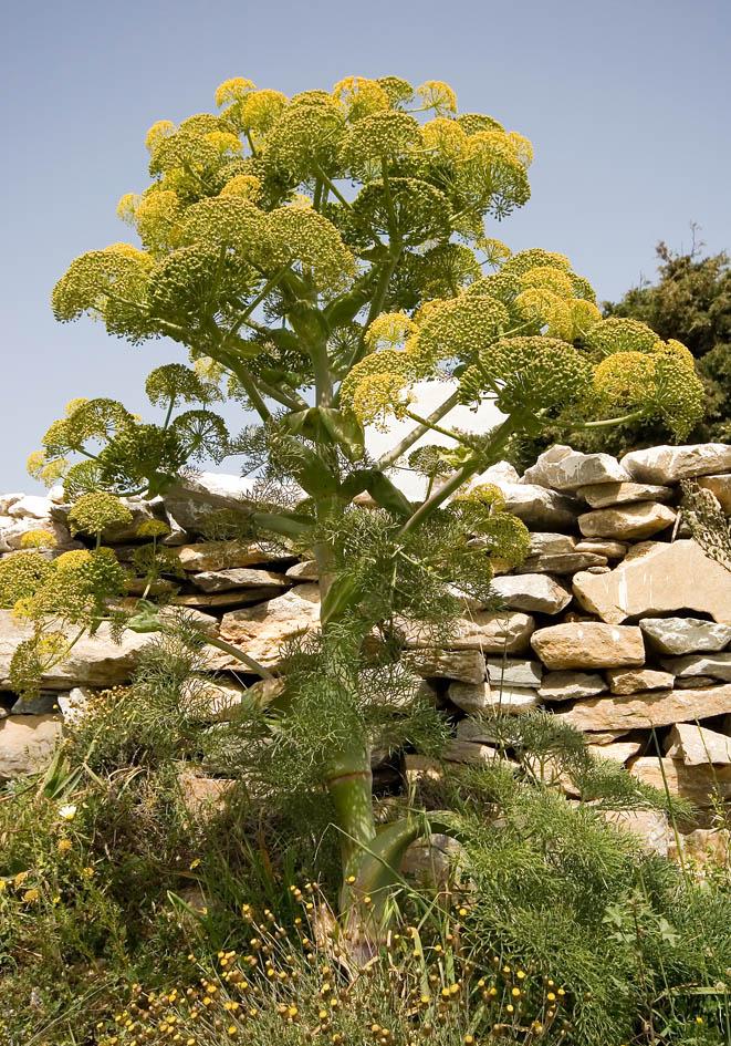 Ferula communis - Gewöhnliches Steckenkraut - giant fennel -  - Gras- und Felsfluren - grassy and  rocky terrains