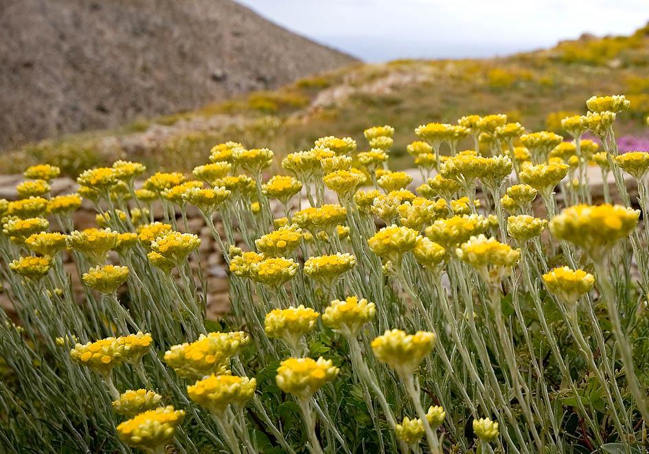 Helichrysum stoechas - Mittelmeer-Strohblume -  - Gras- und Felsfluren - grassy and  rocky terrains