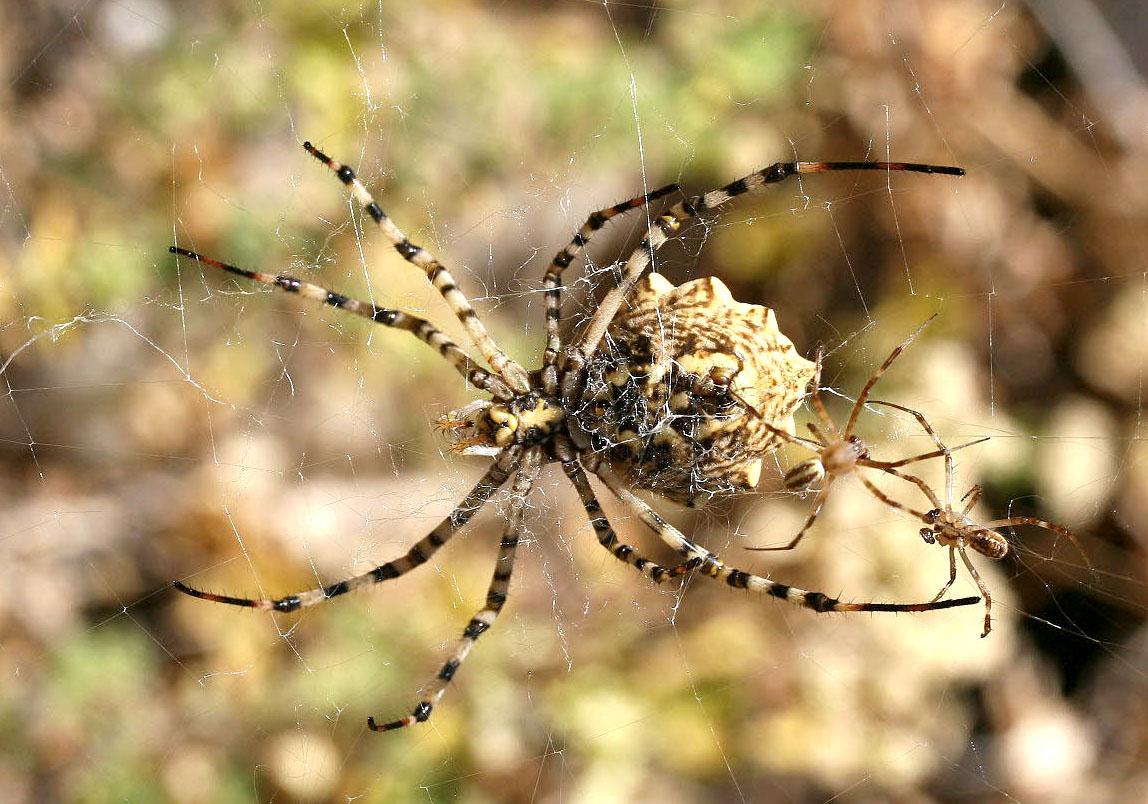 Argiope lobata - Wespenspinne - Fam. Araneidae  -  Sifnos - Araneae - Webspinnen - orb-weaver spiders