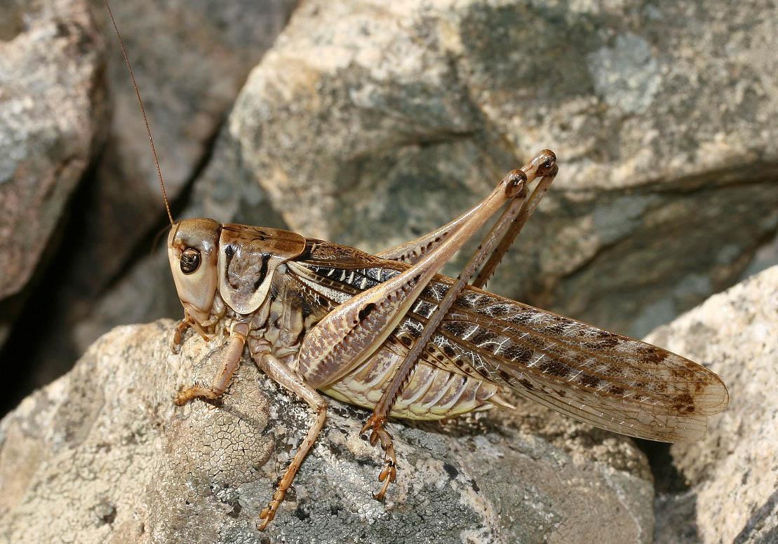 Decticus albifrons - Südlicher Warzenbeißer -  Serifos - Ensifera - Tettigonidae - Laubheuschrecken - bush crickets