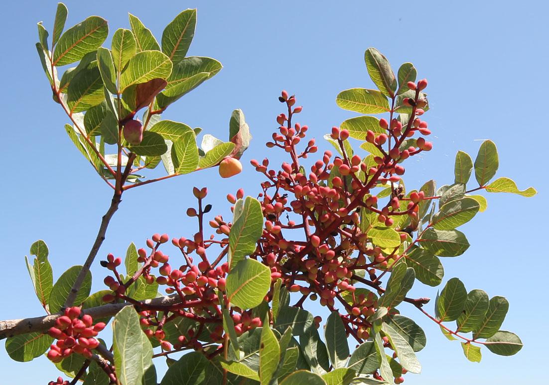 Pistacia terebinthus - Terpentin-Pistazie  - turpentine tree -  - Macchie - Macchia