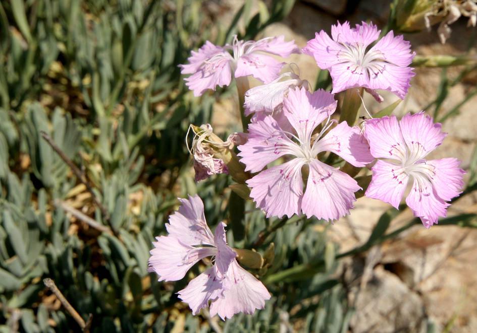 cf Dianthus fruticosus fruticosus -  - Felsen - rocks
