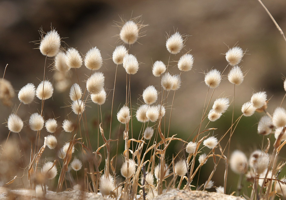 Lagurus ovatus - Hasenschwänzchen - hare`s tail grass -  - Gras- und Felsfluren - grassy and  rocky terrains