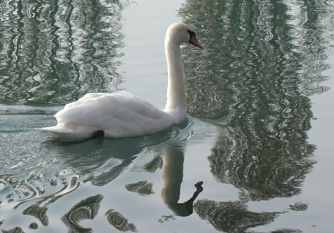 Cygnus olor - Höckerschwan - Mute swan -  - Anatidae - Entenvögel - ducks, gees, swans