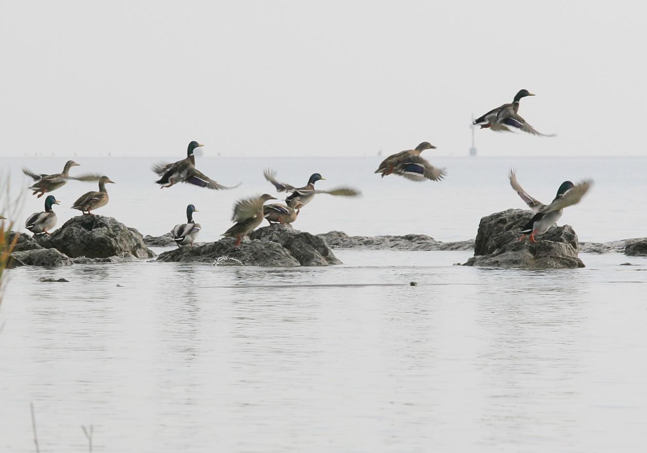 Anas platyrhynchos - Stockente - Mallard -  - Anatidae - Entenvögel - ducks, gees, swans