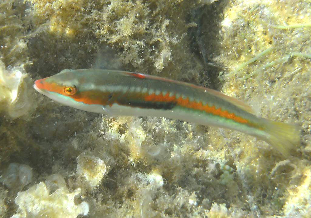 Coris julis - Meerjunker (Männchen) -  - Pisces - Fische - fish