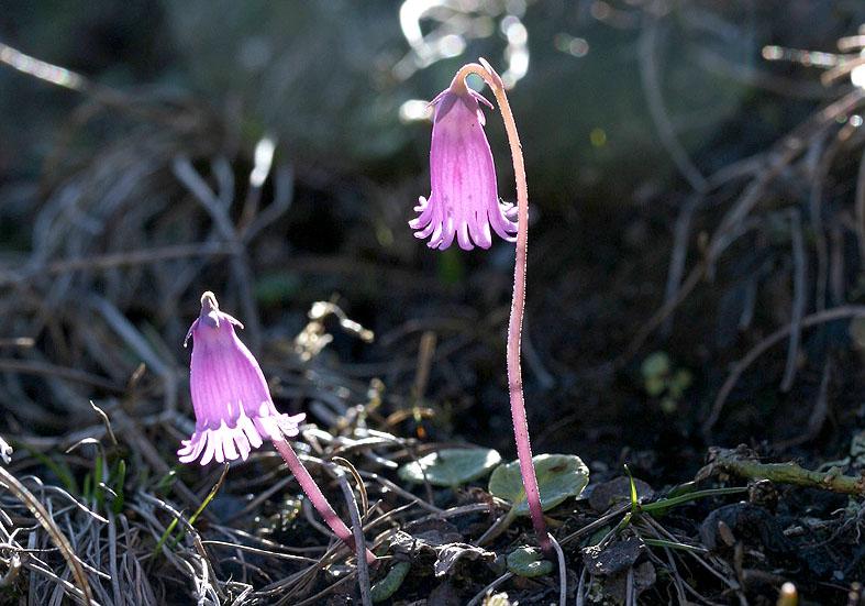 Soldanella pulsilla - Kleines Alpenglöckchen - Fam. Primulaceae - Subnivale Zone / Schneetälchen