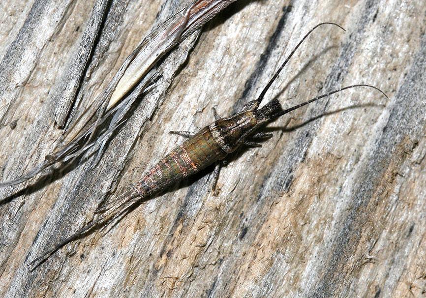 Silvestrichilis trispina - Samos - Archaeognatha - Felsenspringer - jumping bristletails