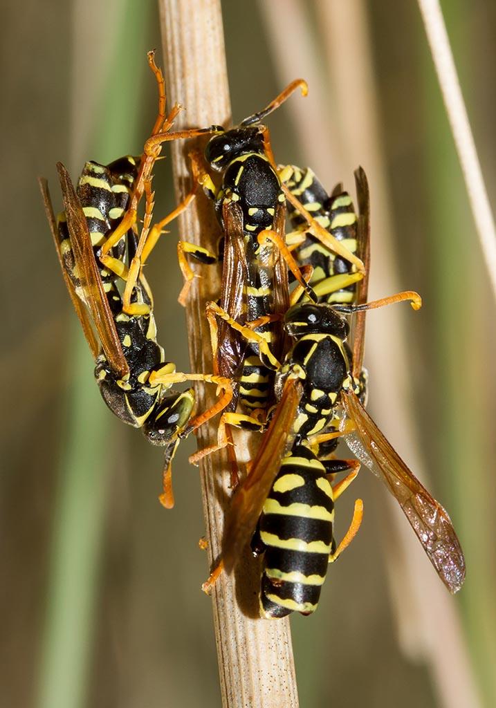 stylopsierte  Polistes sp. - Xenos vesparum (Strepsiptera) - Sardinien - Vespidae - Faltenwespen -wasps
