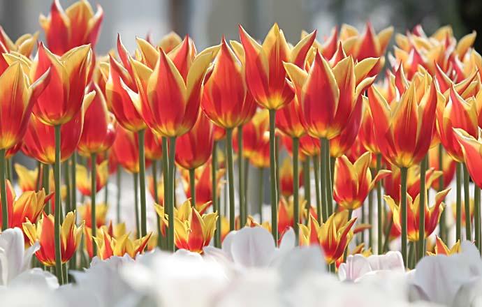 Tulpen - tulips -  - Blüten - Flowers