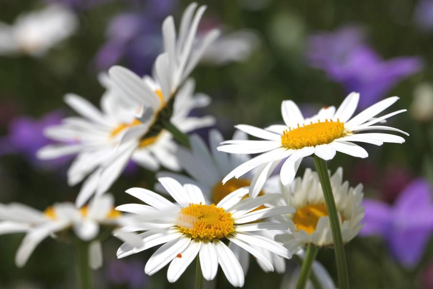 Margeriten -  - Margeriten - chrysanthemum